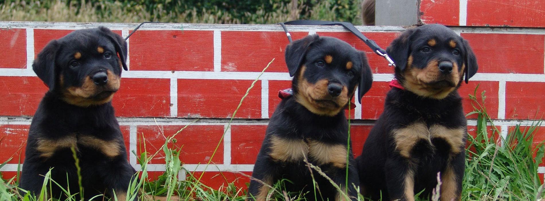 Pups voor muurtje Laarbeekhoeve