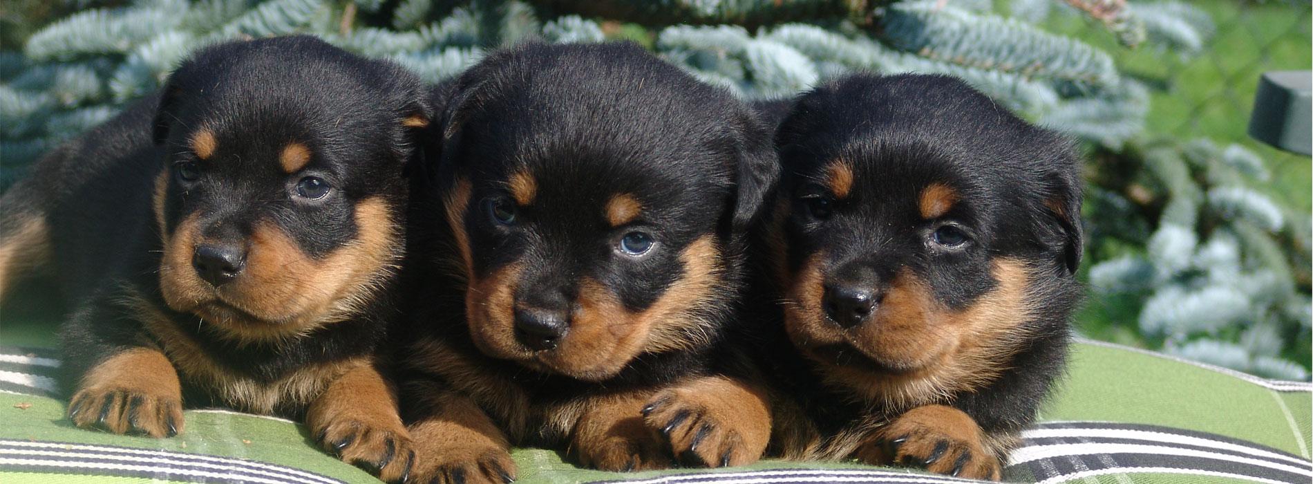 Rottweiler puppies Laarbeekhoeve